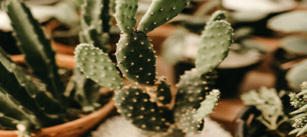 kaktus-mangi
