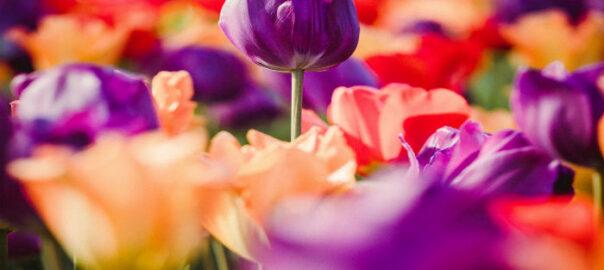 tulipaner-mangi